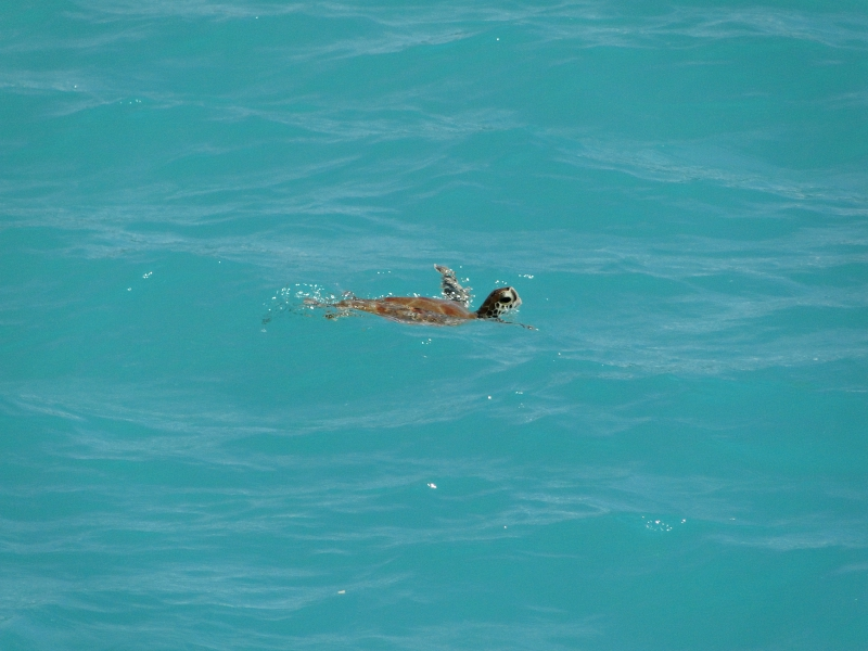 Sea Turtle Oistins Barbados