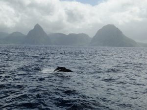 Dolphins jumping in St Lucia
