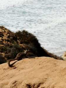 San Diego - Torrey Pines Squirrel