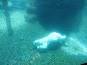 San Diego - Polar Bear swimming at San Diego Zoo